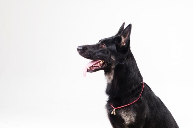 犬の犬種を10にグループ分け(JKC)【1G】牧羊犬・牧畜犬の基本情報!