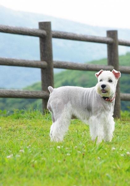 犬の犬種を10にグループ分け(JKC)【2G】使役犬の基本情報!