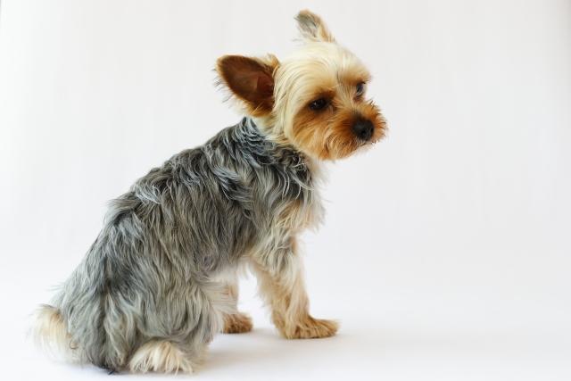 犬の犬種を10にグループ分け(JKC)【3G】テリアの基本情報!