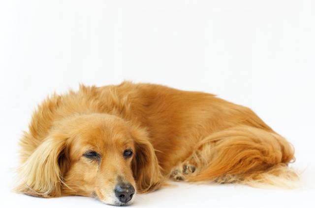 犬の犬種を10にグループ分け(JKC)【4G】ダックスフンドの基本情報!