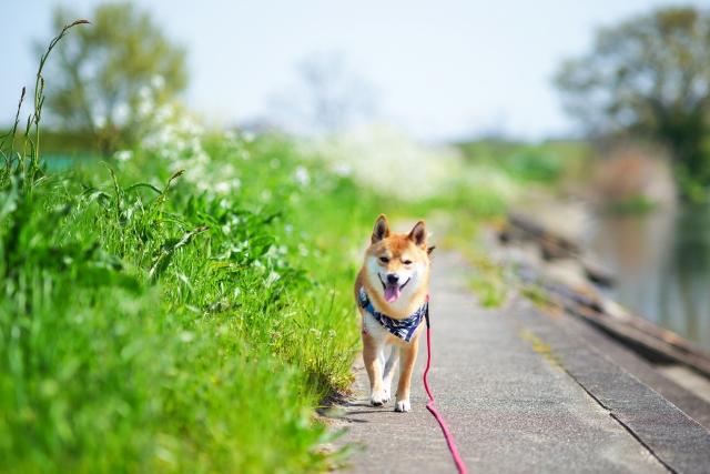犬の犬種を10にグループ分け(JKC)【5G】スピッツ&プリミティブタイプの基本情報!