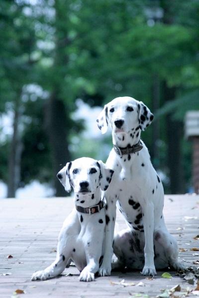 犬の犬種を10にグループ分け(JKC)【6G】嗅覚ハウンド(セントハウンド)の基本情報!