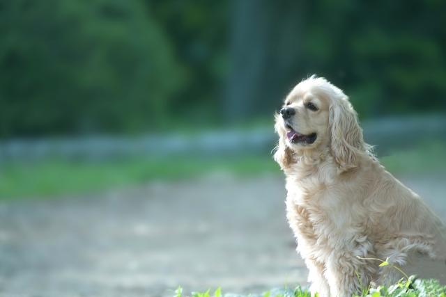 犬の犬種を10にグループ分け(JKC)【7G】ポインター・セターの基本情報!
