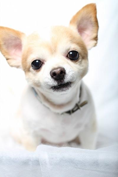 犬の犬種を10にグループ分け(JKC)【9G】愛玩犬の基本情報!