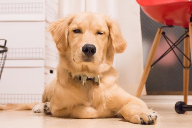 犬にも反抗期はあるの?反抗期の時期は?いつまで続くの?