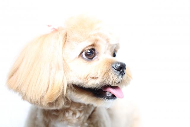 犬が低い声で吠える時はどんな気持ちなの?高い声で吠える時は?