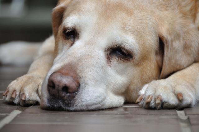 犬が家の中でもマーキング!原因と対処法は?