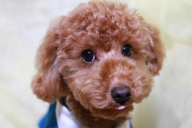 犬の目ヤニの原因は?黄色・緑色・茶色・白い目ヤニは病気なの?
