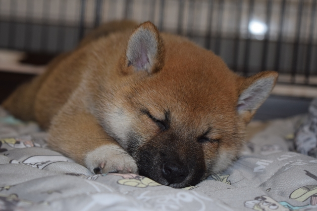 犬の寝る姿には意味があるの?寝相で分かる犬の気持ちとは?