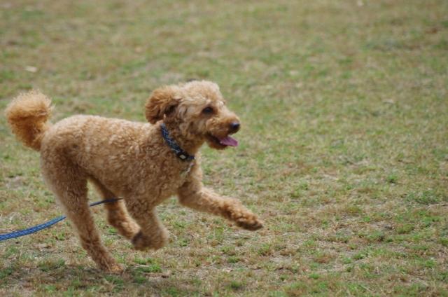 犬が散歩で歩かない原因~わががまや病気などの背景をご紹介~