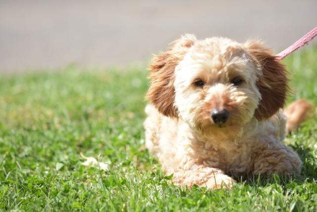 犬の散歩方法を紹介~適した時間・距離・回数とは?
