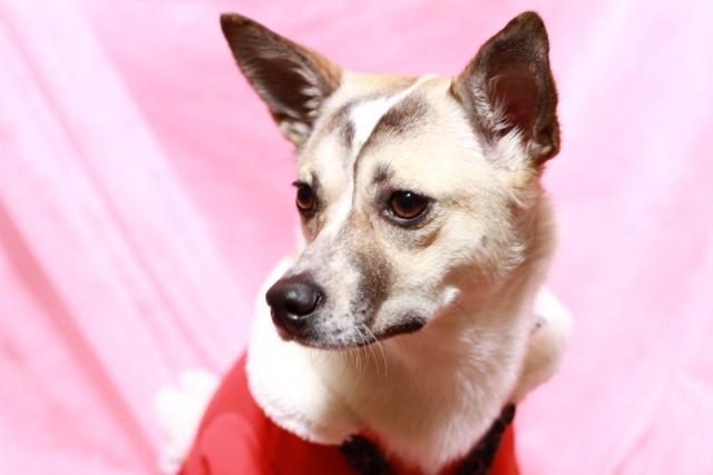 犬の遠吠えについて~遠吠えをする意味やその理由をご紹介~