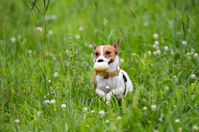 犬が上目遣いをする時の気持ちは?おねだりやリラックスの証?