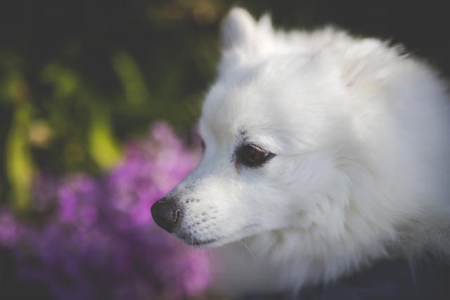 犬が「ワンッ」と短く吠える時はどんな時?その時の気持ちとは?