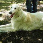 犬の犬種を10にグループ分け(JKC)【10G】視覚ハウンド(サイトハウンド)の基本情報!