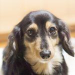 耳の動きで分かる犬の気持ちとは?耳を後ろに倒している時の気持ちは?
