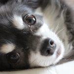 犬は体温調節が苦手?舌を出しているのは体温調節をしているの?