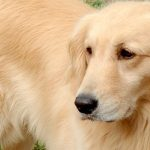 犬の知能指数ランキングのトップ10を発表!最も賢く頭の良い犬種とは?