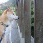 秋田犬の基礎知識 性格や特徴・平均寿命は?