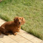 犬が吐く行為を繰り返す時に考えられる原因と対処方法とは?